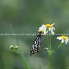 Blue glassy tiger butterfly on white flower in field.