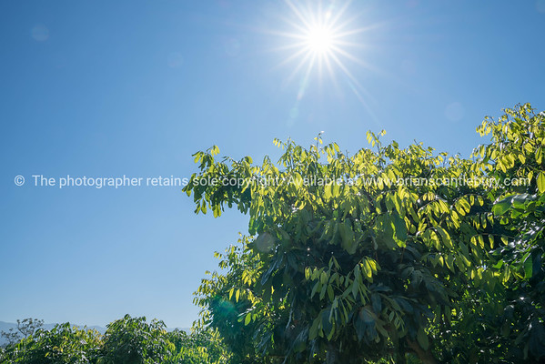 Lensflare in blue sky above new green leaf growth on longan fruit trees in Thai orchard