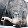 000033_Baby Elephant