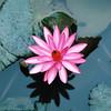 000037_Pink Flower