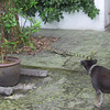 Dog and lizard stand off in the market place