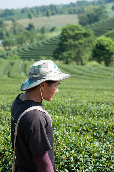 The Tea Plantation went on for as far as the eye could see