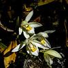 White Orchids (Orchidaceae)