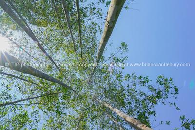 Tall trees rising skyward converging skyward