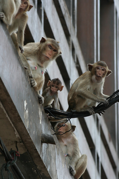 A group of macaques perch on shop awnings and overhead cables in the middle of Lopburi, a town north of Bangkok that's literally crawling with monkeys.