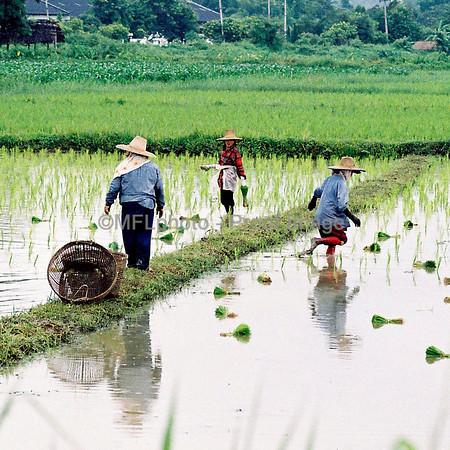 Rice Fields - impressionist version 007-2784