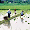 Rice Fields - impressionist version 007-2784