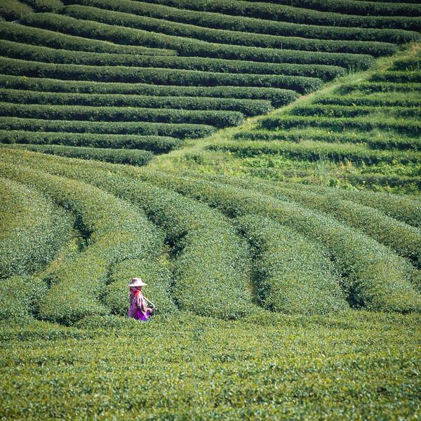 The Tea Plantation workers spreading fertilizer