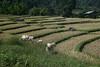White Karen Rice fields inside Doi Inthanon National Park
