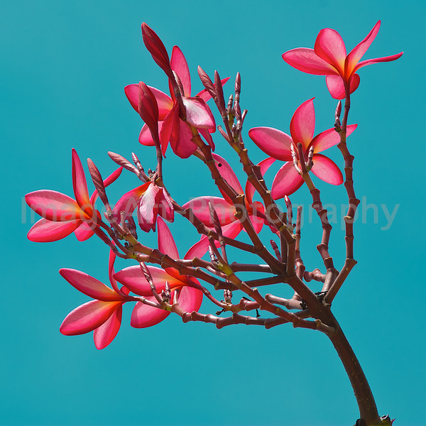 Plumeria tree in flower