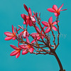 Plumeria tree in flower