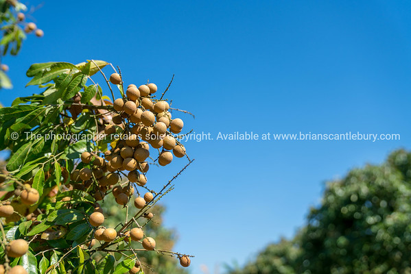 Longan, or lumyai, orchard in Chiang Mai Province Thailand