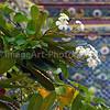 Plumeria tree flowering in a Thai temple