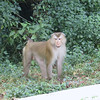 Long-tailed Macaque in Khao Yai National Park