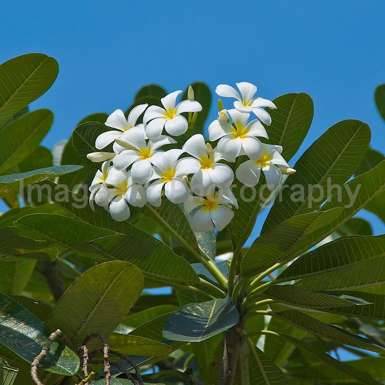 White Plumeria tree in flower