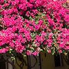 Brilliant highly colorful display bouganvillea flowers