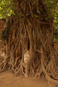 Buddha head in tree roots