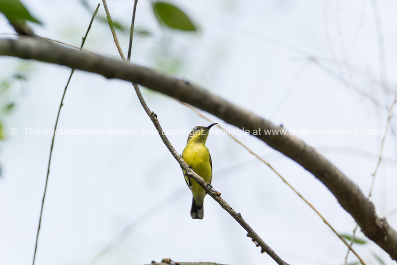 Common or brown honey eater high on branch.