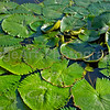 Waterlilies in a pond in Thailand