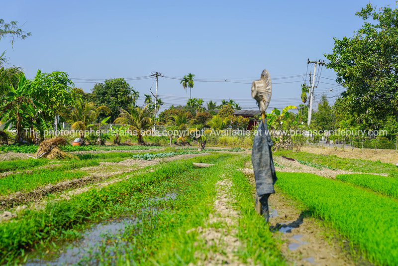 Man tending his garden plot of vegetables and rice with hat and coat on stick as scarecrow.