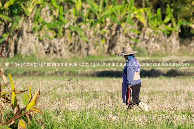 Workers in paddy fields  near Chiang Mai.