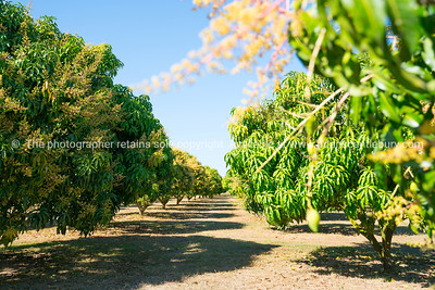 Mango orchard in Chiang Mai Province, Thailand.