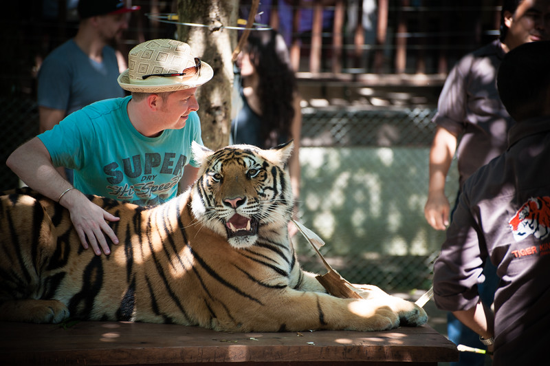 The tiger village had many trainers keeping an eye out for any suspicious behavior by the tigers- so they said.