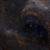 Doi Suthep Elephant Tears