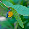 Thai Butterfly