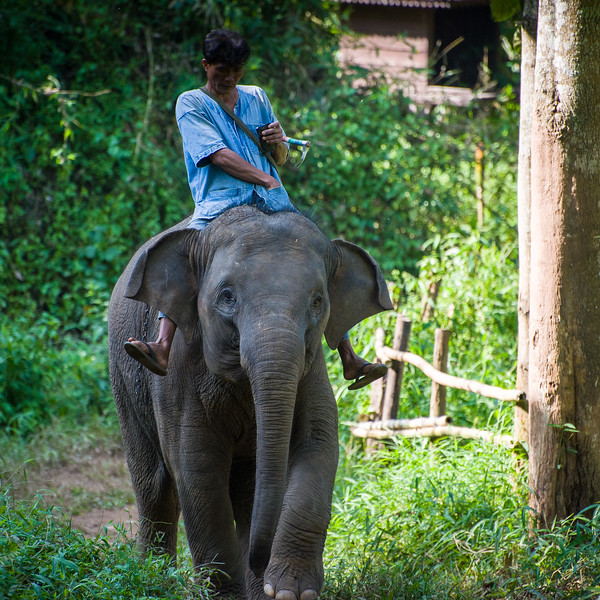 Anantara Golden Triangle Resort grounds had 7 elephants and their trainers living on the grounds.