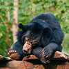 A sleeping Asian Black Bear at a national park.