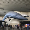 Blue Whale. The Aquarium of the Pacific in Long Beach. http://www.aquariumofpacific.org. November 25, 2019.
