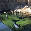 Magellanic penguins at The Aquarium of the Pacific in Long Beach. http://www.aquariumofpacific.org. November 25, 2019.