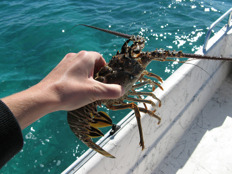 Very different from the lobsters I'm used to seeing in the northeast.  No claws.