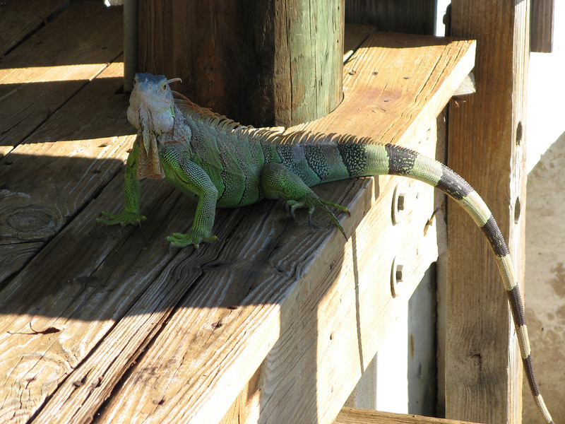 Iguana!  These guys were all over the place, and are considered a nuisance by many residents because they poop all over people's decks and boats.