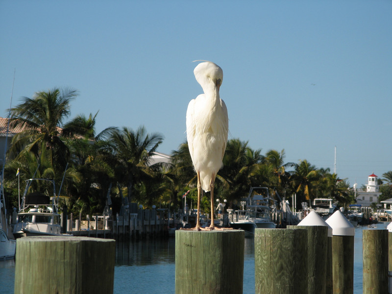 A great white heron, the white form of the great blue heron found in southern Florida.