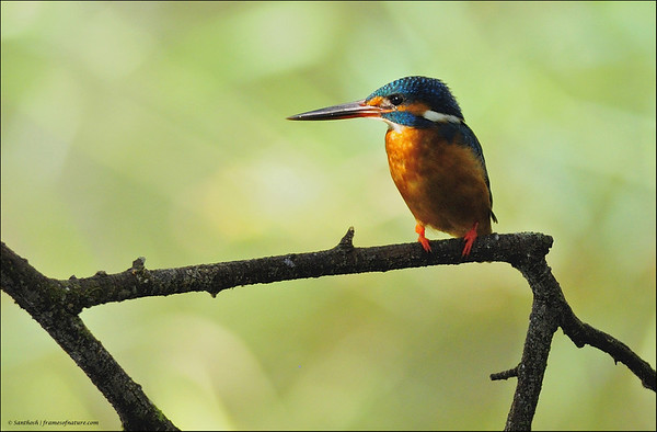 Spotlight - Common Kingfisher....