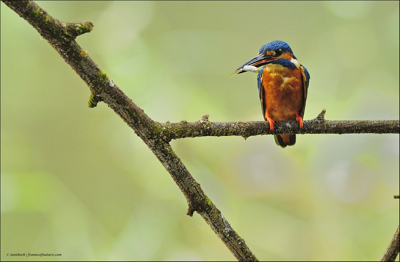Common Kingfisher - with catch - again....