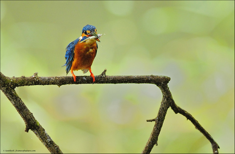 Common Kingfisher - with a catch....