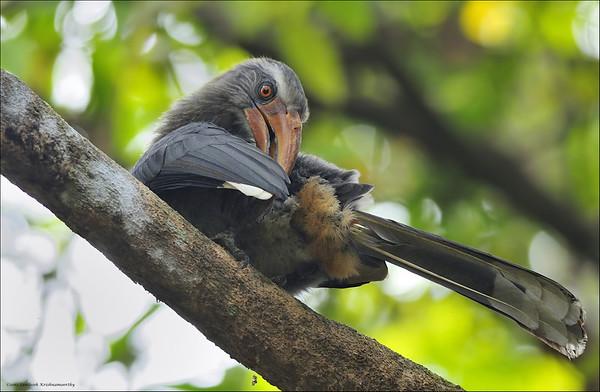 Malabar Grey Hornbill - Preening.....