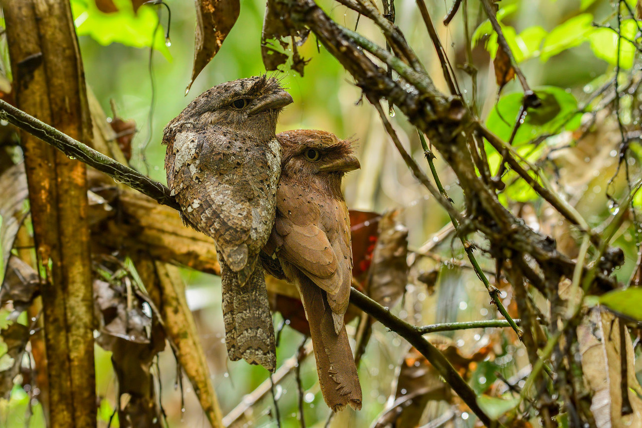 Srilankan Frogmouth pair ( male on the left and the female on the right )