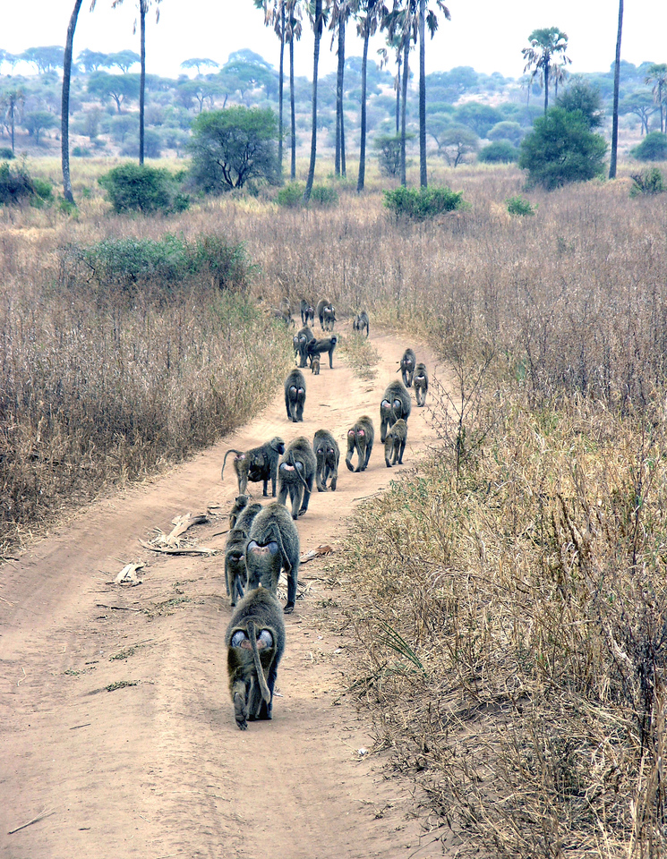 Jul 2.  A troop of baboons marching down the road.