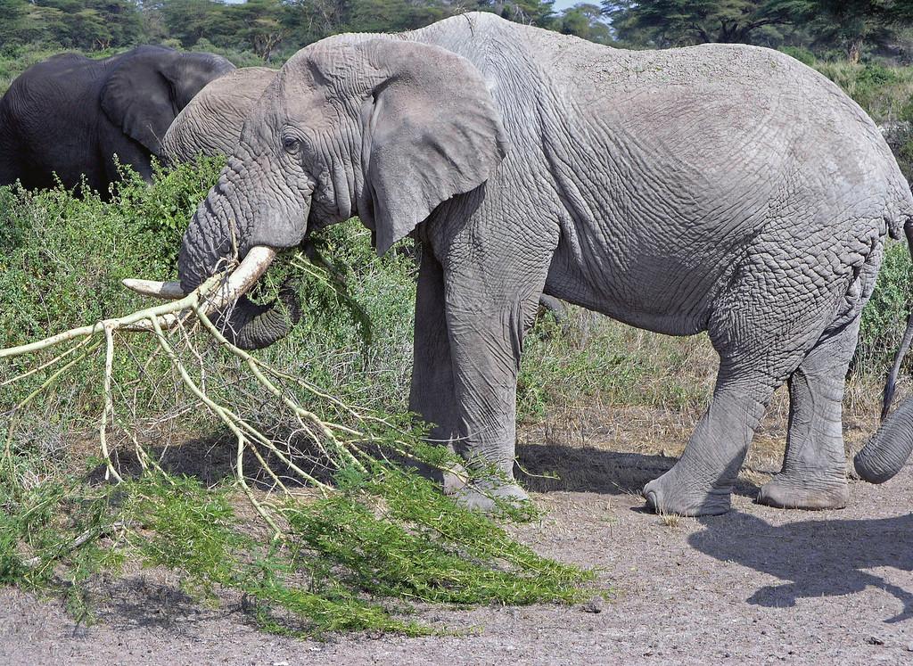 Jun 28.  We found another herd of elephants chomping away on big limbs.