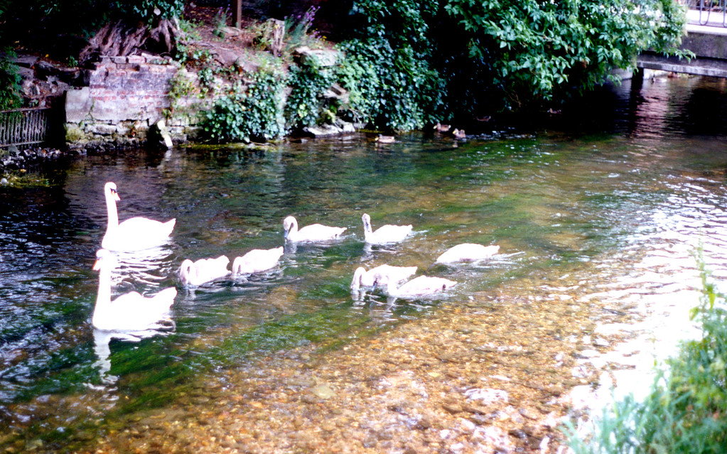 1997-07-18 Swans on the Avon River in Salsbury, but not THE River Avon.  There are eight Avon Rivers in England.