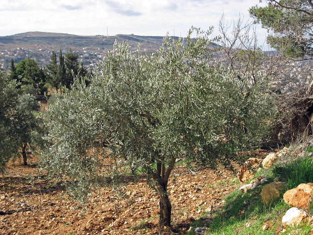 Feb 18.  One of many olive trees around the castle.  Jordan has over 17 million olive trees.