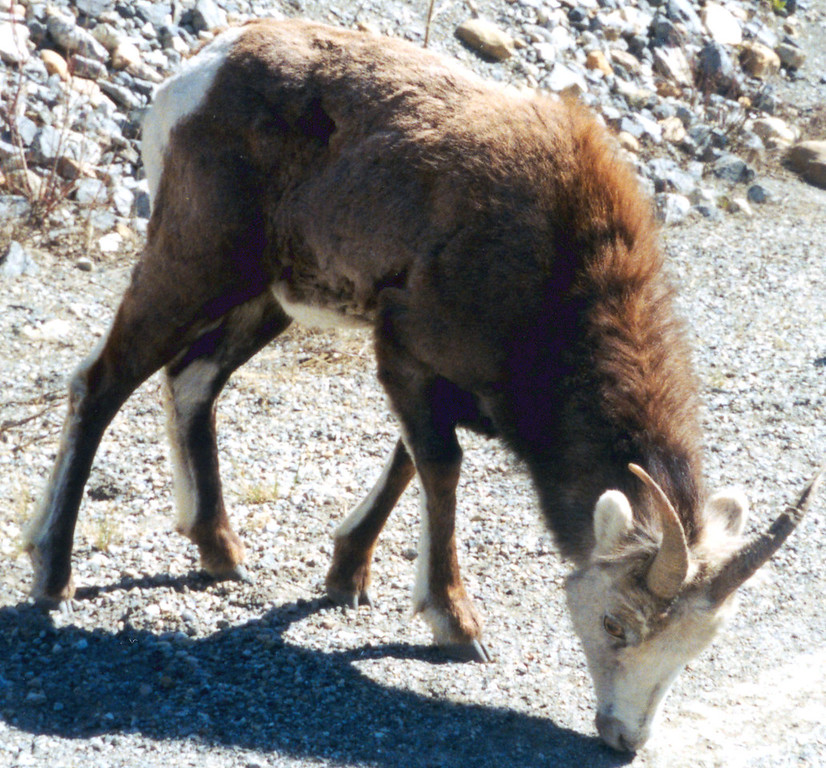 """May 26.  Between Lloydminster and Dawson Creek we passed three or four buffalo ranches (one had a sign: """"Tanned buffalo robes for sale""""), a couple of elk and caribou ranches, deer, and a moose.  This is a Stone sheep, wild beside the road."""