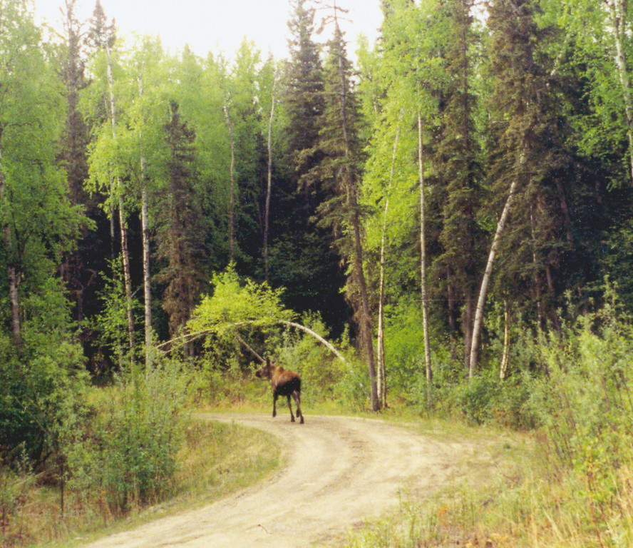May 31.  Heading south somewhere before Haines Junction, Yukon, this moose rambled across the road.