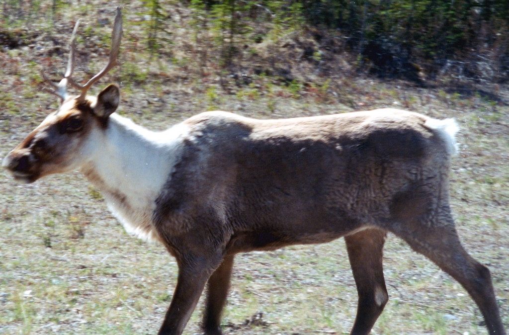 May 26.  Between Lloydminster and Dawson Creek, we passed this caribou.