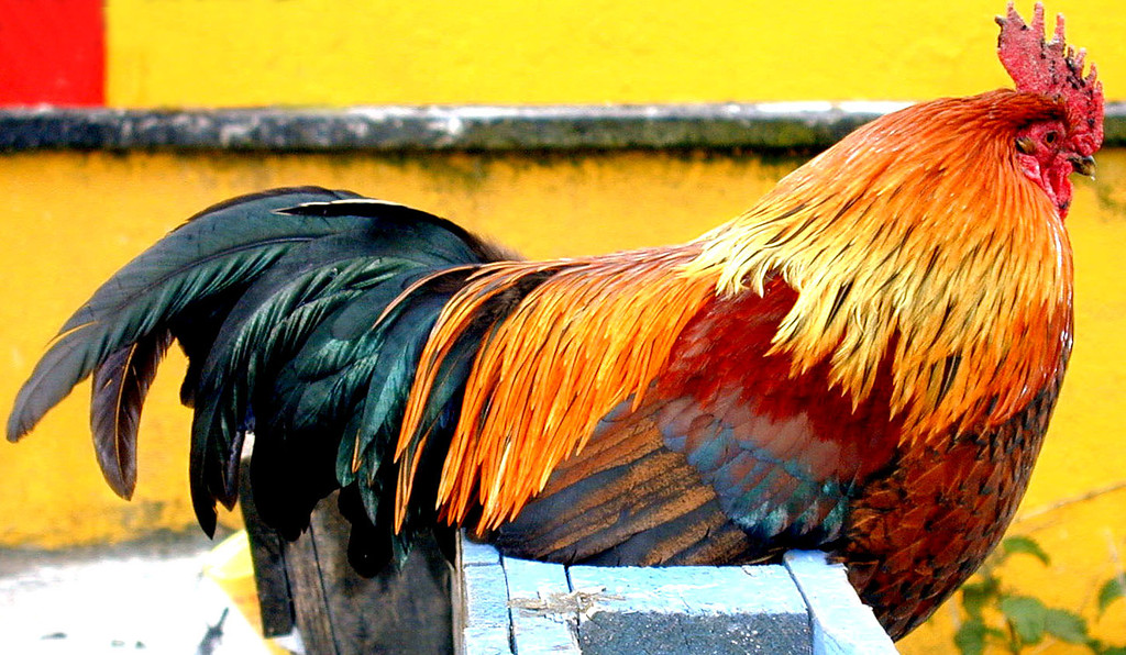 May 12.  In the only village on Aran Island, Cill Ronain, this rooster posed so nicely, I had to take his picture.