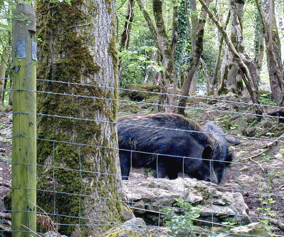 May 15.  Along a walk through a rain forest is this pen holding wild boar.